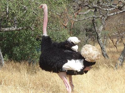 Ostrich Birds Of Ethipia