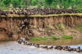Tanzania Wildebeest Migration and Mara River Crossing Photos