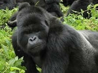 Gorilla Tracking Expedition