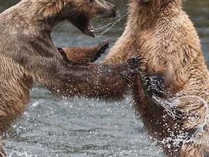 Bears of Katmai (July 2020) Fotos