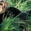 Chimpanzee Uganda Ganyana Safaris Kibale