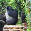 Mt Gorilla Family