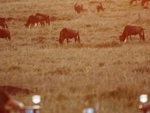 Experience the Great Wildbeast Migration in Masai Mara Kenya!