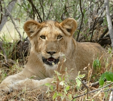 Young Cub Resting In Murchison Falls National Park