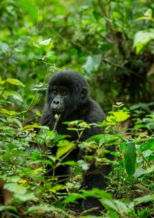 Baby In The Mist - Bwindi Impenetrable National Park