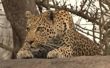 Camouflaged Leopard In Murchison Falls National Park