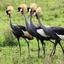 Four Safaris