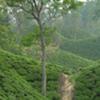 Tea Garden & Tribal Tour