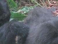 Uganda Gorilla Trekking Adventures