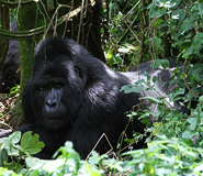 Go Gorilla Trekking on Self Drive Safari in Uganda Photos