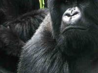 Gorilla Safaris Rwanda