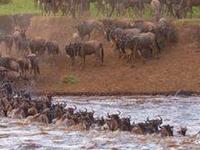 3 Days Masai Mara Wildebeest Migrations Adventure Safari 2019