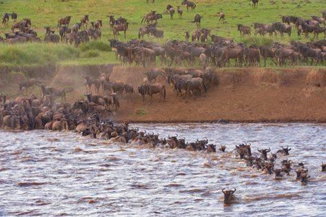 3 Days Masai Mara Wildebeest Migrations Adventure Safari 2019 Photos