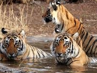Quest of the Ranthambore Tiger