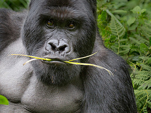Gorilla Trekking - Rwanda
