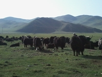 Mongolian Yaks