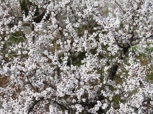 Cherry Blossom Photograpy Tour Photos