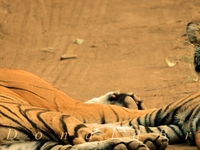Ranthambore Special