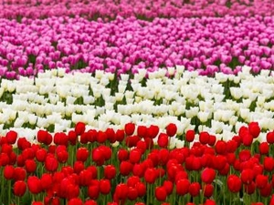 Kashmir Tour Tulip Festival Photos