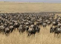 On Your Mark Wilderbeest,the Migration Is On