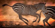 Zebra Natgeo