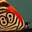Callicore Neglecta Butterfly Sartore 977211 Xl
