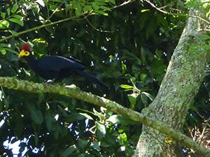 Mabira Forest Birding Tour