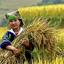 Muong Hoa Rice Fields
