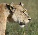 Serengeti Close Up Lioness