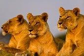 Ngorongoro 3 Lions