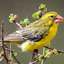 Northern Grosbeak Canary Yabello Ethiopie Ls