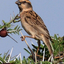 Shelleys Rufous Sparrow Yabello Ethiopie Ls