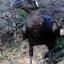 Thick Billed Raven Addis Abeba Ethiopie Ls