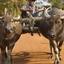Lotos Rallye, Ox Cart