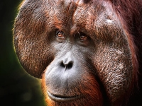 10% Off Orangutan Tour in Borneo