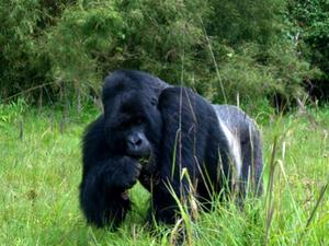 Silverback Mountain Gorilla Safari Fotos