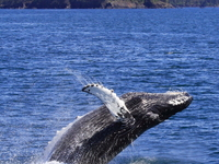 Humpback Whale Breaching Photo By Amanda Bauer Of Stan Stephens Cruises