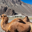 Bactrian Camels In Himalayas
