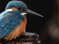 Common Kingfisher,Bharatpur Bird Sanctuary