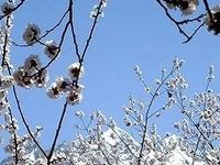 Spring Blossom Hunza Valley