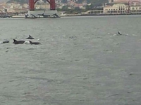 Dolphins In The Tagus River