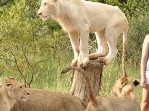 Rustenburg - Sun City to Ukutula Lion Park Day Tour Photos