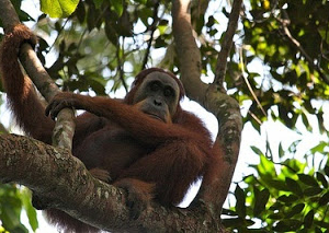 Full Day Bohorok Orang Utan Tour Fotos