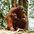 Visit to the Orangutan Feeding Platform in Bukit Lawang Fotos