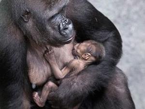 Rwanda Gorilla & Golden Monkeys Fotos