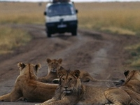 Lions On The Road Masai Mara 460x365