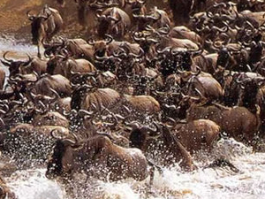 Masai Mara Great Wildebeest Migration Photos