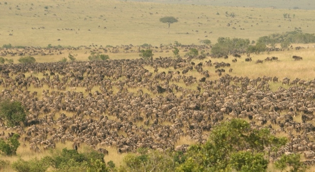 Mara Serena Safari Lodge Wildebeest Migration Safari Photos