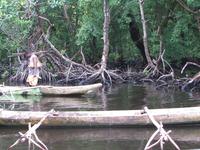 Canoes At Mangrove Habitat Moor.