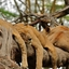 Lions Tree-Climbing